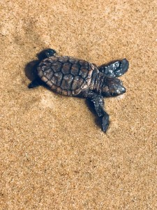 A baby leatherback turtle! Amazing experience!